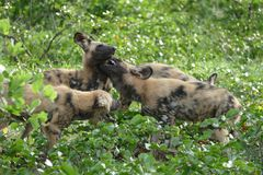 Wild painted dogs Royalty Free Stock Photo