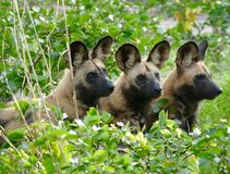 Wild painted dogs Royalty Free Stock Images
