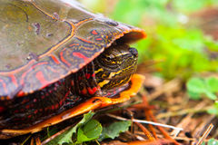 Wild Painted Turtle Hiding In Shell. Curious Wild Painted Turtle Peaks From Shell. Profile Shot Of Turtle royalty free stock image