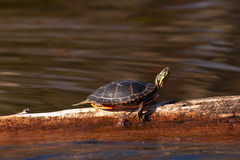 Wild Painted Turtle Sunning Himself On Log. Wild Wisconsin Painted Turtle Sunning Himself On A Log In Wisconsin Stock Images