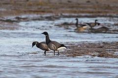 Wild pair of Brent Geese. Branta bernicla royalty free stock photo