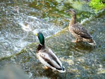 Wild pair of ducks staying on the edge of the lake royalty free stock images