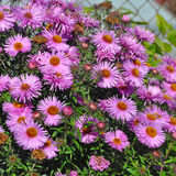 Wild pale purple Michaelmas Daisies Stock Images