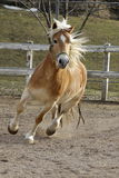 A wild Palomino Horse. Running in a Italian ranch Stock Photography