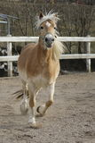 A wild Palomino Horse. Running in a Italian ranch Stock Images