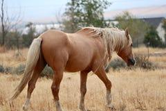 Wild Palomino Stallion American Mustang Wild horse roaming. Wild palomino stallion American mustang wild horse in the high Sierra Nevada desert grazing Royalty Free Stock Photo