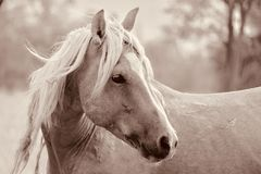 Wild American mustang stallion Palomino cross. Wild palomino stallion American mustang wild horse in the high Sierra Nevada desert looking away closeup Royalty Free Stock Photography