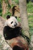 Wild Panda Bear Eating Bamboo Shoots terwijl het Leunen tegen een Tre stock foto