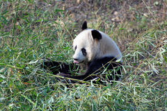 Wild panda bear in Qinling mountains, China Stock Photography
