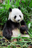 Wild panda. In the forest Royalty Free Stock Image
