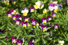 Wild pansy. Violets flowering in garden. Medicinal plant for metabolic diseases and acne treatment Royalty Free Stock Photos