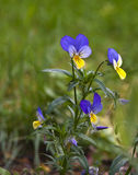 Wild pansy Stock Photography