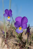 Wild pansy flowers. Stock Photos
