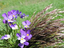 Wild pansy flowers and bent Royalty Free Stock Photography