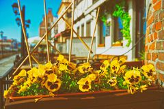 Wild pansy flowers embankment in Gdansk royalty free stock photos