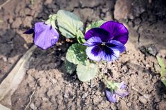 Wild pansy flowers growing in sunlight. A heart-shape violet petal with green leaves carpel close-up royalty free stock photo