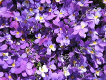 Wild pansy flowers pattern Royalty Free Stock Photos