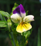 Wild Pansy. Heartsease (Viola tricolor) or Wild Pansy growing as an annual or short-lived perennial. It is a small plant of creeping and ramping habit, with royalty free stock photos