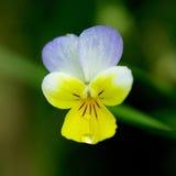 Wild Pansy, Viola tricolor Stock Photos