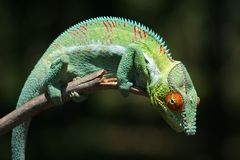 Wild panther chameleon of Madagascar. Colourful panther chameleon - one of the world\'s largest chameleons - photographed in the wild, northwestern Madagascar Stock Photos