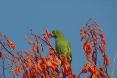 Wild parakeet. A wild parakeet eating flowers Stock Image