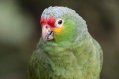 Wild Parakeet. A wild parakeet with a curious eye Stock Images