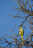 Wild Parakeet In Tree Royalty Free Stock Images