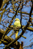 Wild Parakeet in Tree Royalty Free Stock Image