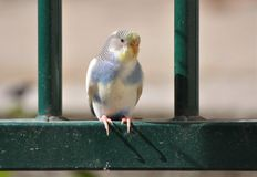 Wild Parakeet. In Paris, France Royalty Free Stock Photography