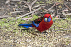 Wild parrot with red and blue feathers, Australia Royalty Free Stock Image