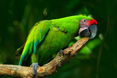 Wild parrot bird, green parrot Great-Green Macaw, Ara ambigua. Wild rare bird in the nature habitat. Green big parrot sitting on t Stock Photo
