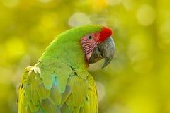 Wild parrot bird, green parrot Great-Green Macaw, Ara ambigua. Wild rare bird in the nature habitat. Green big parrot sitting on t Royalty Free Stock Photo