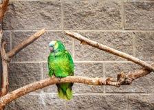 Wild parrot bird, green parrot Great-Green Macaw, Ara ambigua. Wild rare bird in the nature habitat. Green big parrot sitting on t Royalty Free Stock Photography