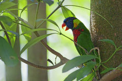 Wild Parrot Royalty Free Stock Photography