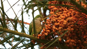 Wild parrot on a tree. Wild parrot eats the fruit of the palm tree stock footage