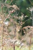 Wild Parsnip-Pastinaca sativa-Seed Head Stock Photos