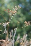 Wild Parsnip-Pastinaca sativa-Seed Head Royalty Free Stock Image