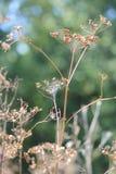 Wild Parsnip-Pastinaca sativa-Seed Head Stock Photo