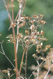 Wild Parsnip-Pastinaca sativa-Seed Head Royalty Free Stock Images