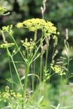 Wild Parsnip (Pastinaca sativa) Royalty Free Stock Photos