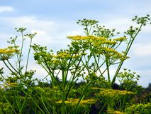 Wild Parsnip toxic roadside wildflower in NYS. Wild parsnip is an invasive plant from Europe and Asia that has become naturalized in North America. It is well stock photo