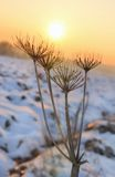 Wild parsnip in winter Stock Photography