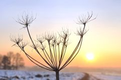 Wild parsnip in winter Royalty Free Stock Photography