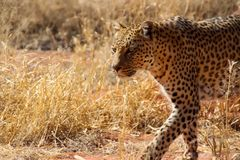 Wild parties from Namibia. Wild parties in the Wilderness of Namibia South Africa Stock Photos