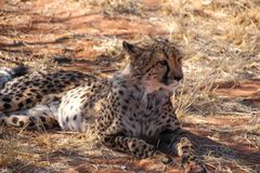 Wild parties from Namibia. Wild parties in the Wilderness of Namibia South Africa Royalty Free Stock Photos