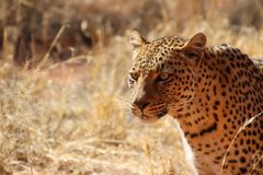 Wild parties from Namibia. Wild parties in the Wilderness of Namibia South Africa Stock Image