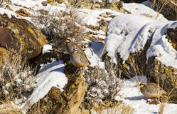Chukar Partridges in snow covered rocks Royalty Free Stock Photos