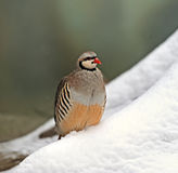 Wild partridge Royalty Free Stock Images
