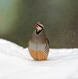 Wild partridge Royalty Free Stock Photo