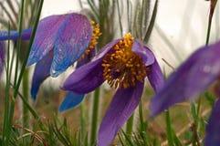 Free Wild Pasque Flower, Pulsatilla Vulgaris, First Spring Flower Stock Photography - 132397662